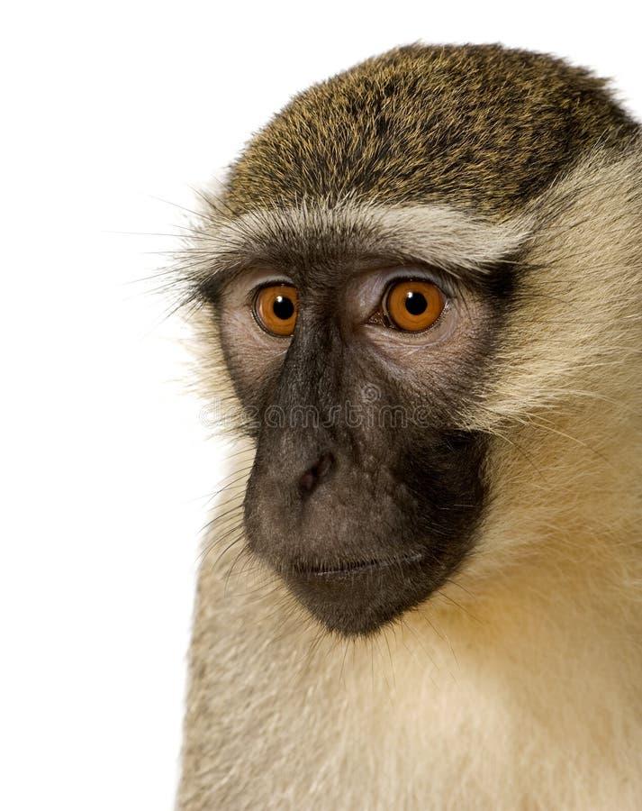 Macaco de Vervet - pygerythrus de Chlorocebus imagem de stock royalty free
