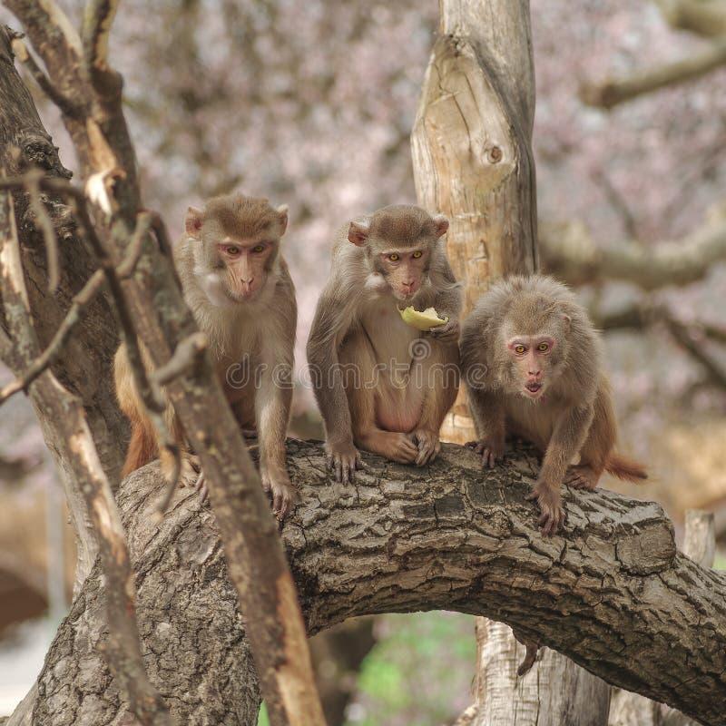Macaco del reso in primo piano durante il comportamento naturale fotografie stock libere da diritti