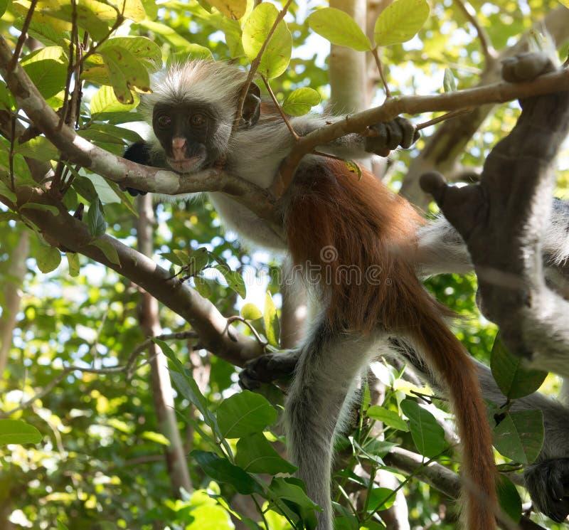 Macaco desgrenhado curioso em uma árvore no parque nacional da baía de Jozani Chwaka fotos de stock royalty free