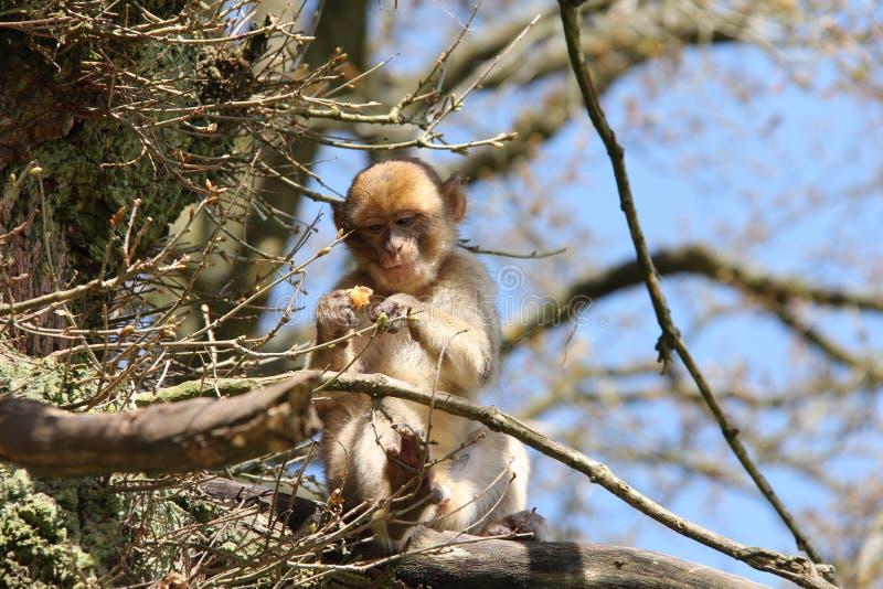 Macaco di Barbary fotografia stock libera da diritti