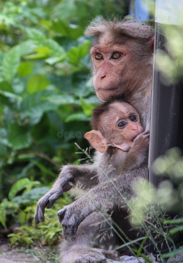 Macaco di cofano immagini stock libere da diritti