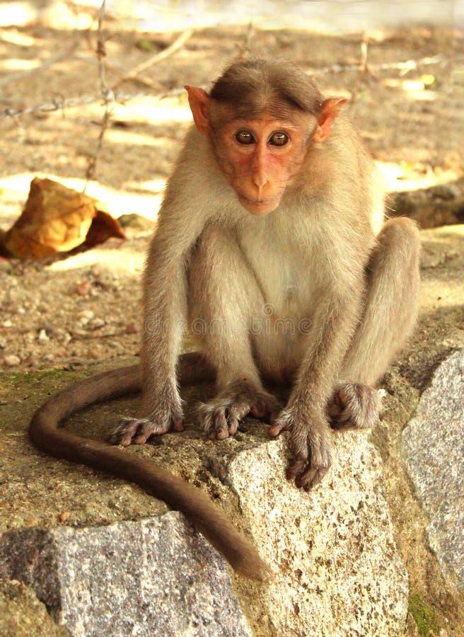 Macaco di cofano immagine stock