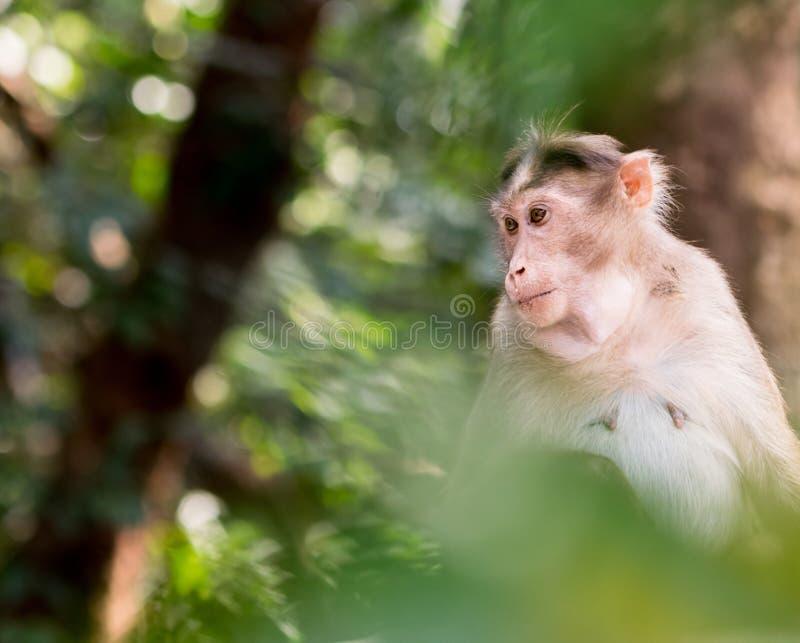 Macaco di cofano femminile che si siede su un albero che sembra i modi laterali immagini stock libere da diritti