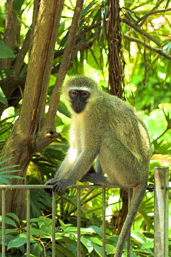 Macaco do babuíno em África do Sul foto de stock royalty free