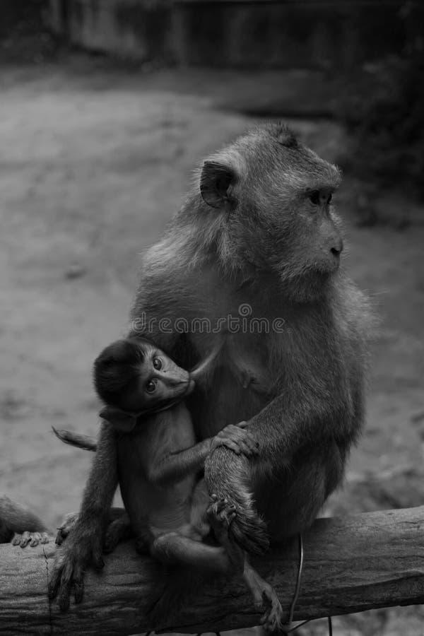 Macaco do bebê e da mamã foto de stock