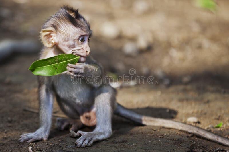 Macaco do bebê que come a folha fotografia de stock royalty free