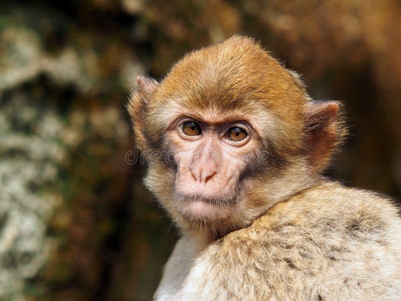 Macaco do Berber imagem de stock