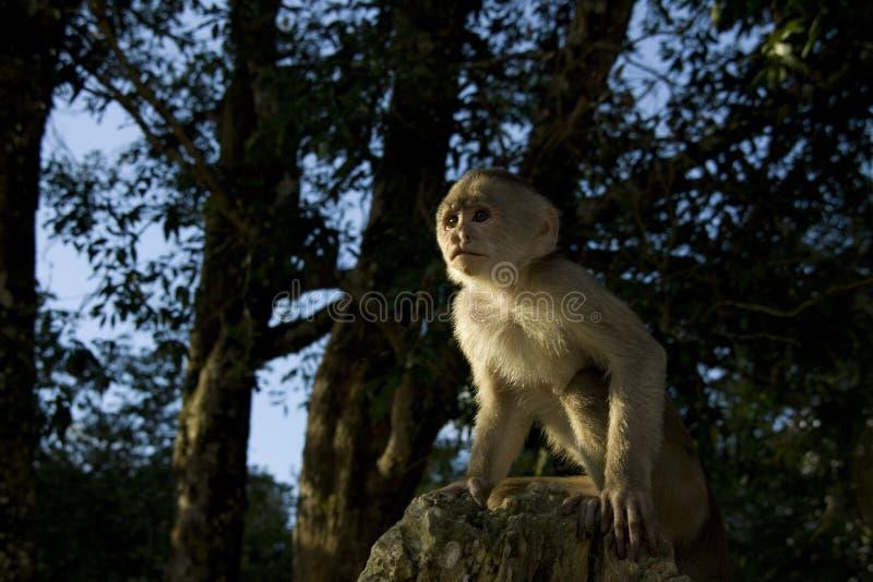 Macaco do Capuchin na selva fotografia de stock