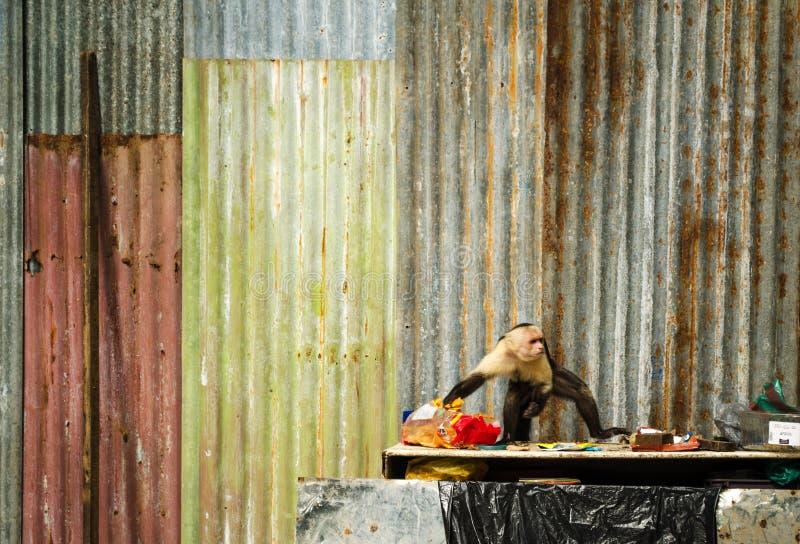 Macaco do Capuchin que rouba o alimento fotos de stock royalty free