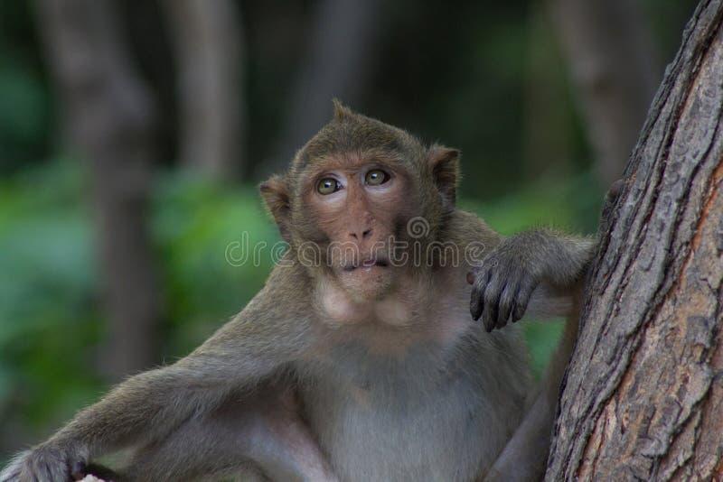 Macaco do chefe foto de stock royalty free