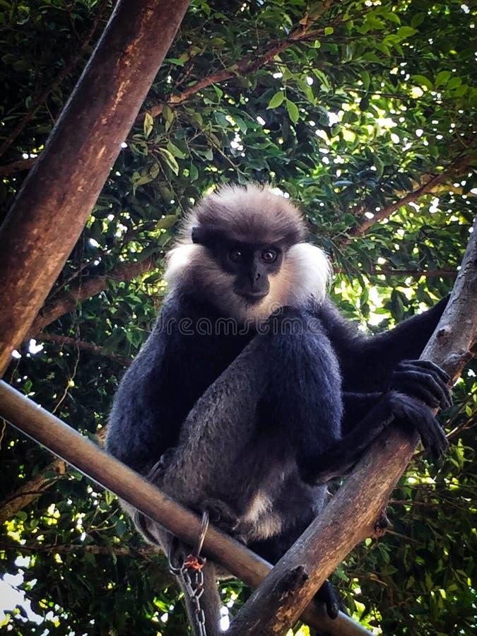 Macaco do  de Ð em uma árvore foto de stock