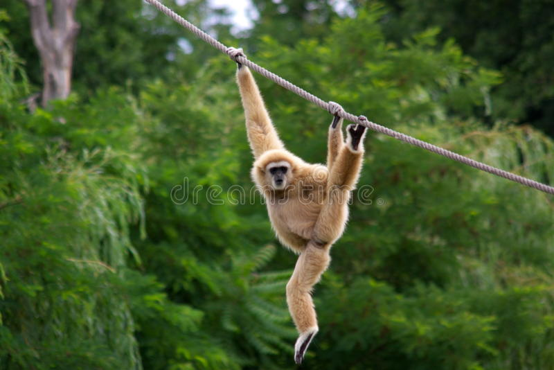 Macaco do Gibbon foto de stock royalty free