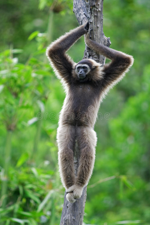 Macaco do Gibbon fotografia de stock royalty free