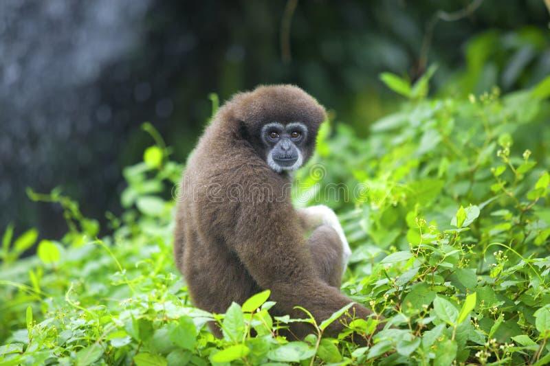 Macaco do Gibbon foto de stock