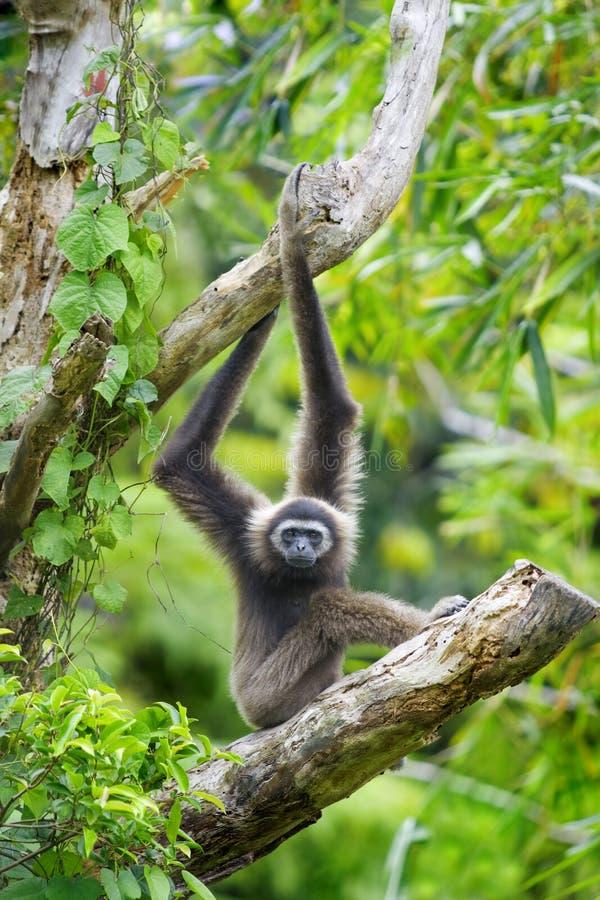 Macaco do Gibbon fotografia de stock