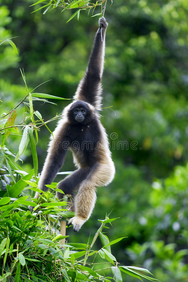 Macaco do Gibbon fotografia de stock