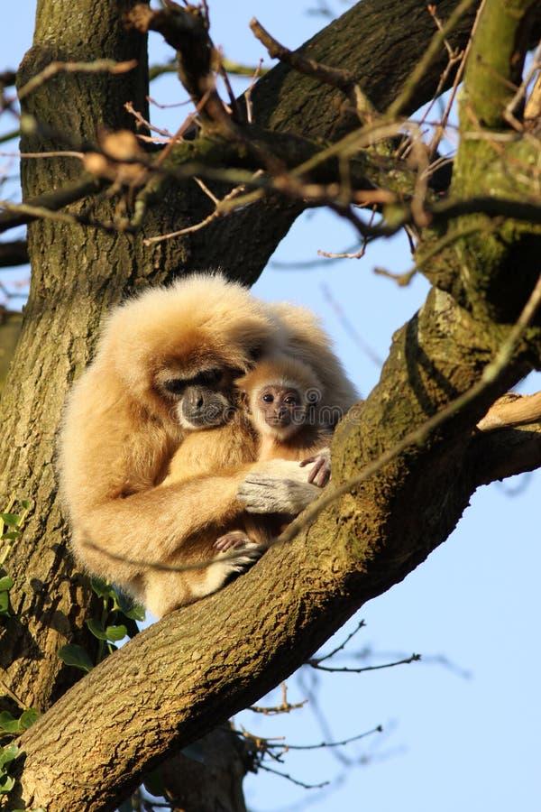 Macaco do Gibbon com um bebê na árvore fotos de stock