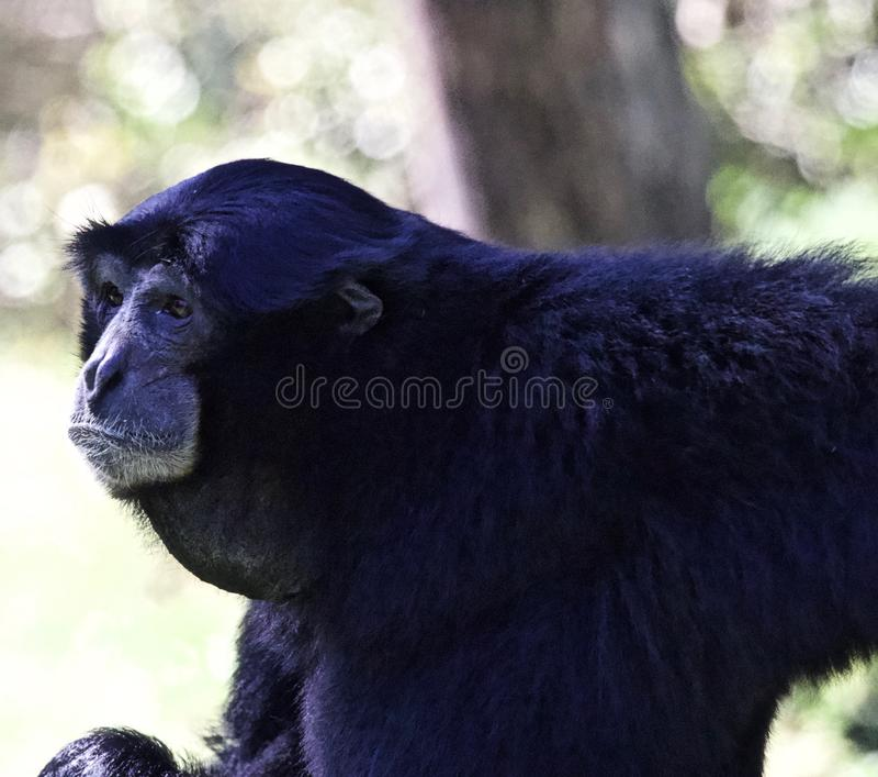 Macaco do Gibbon de Siamang foto de stock