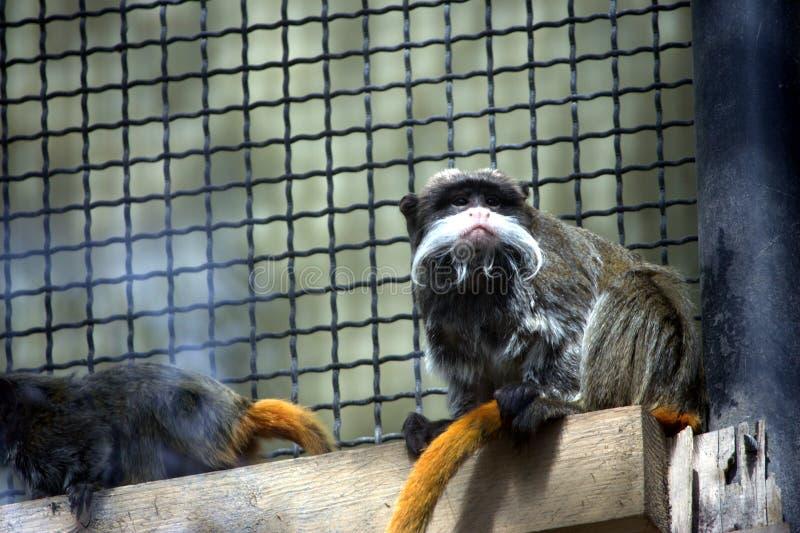 Macaco do imperator de Sanguinus fotos de stock