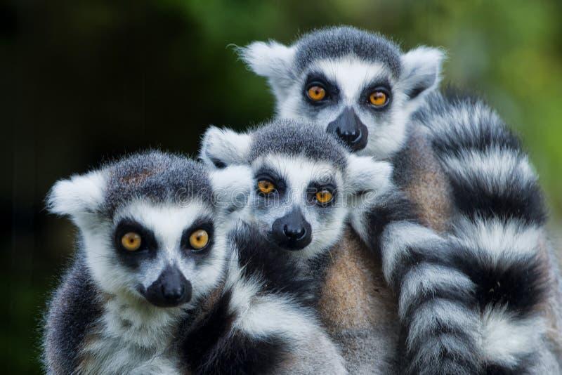Macaco do lêmure ao olhá-lo imagem de stock royalty free