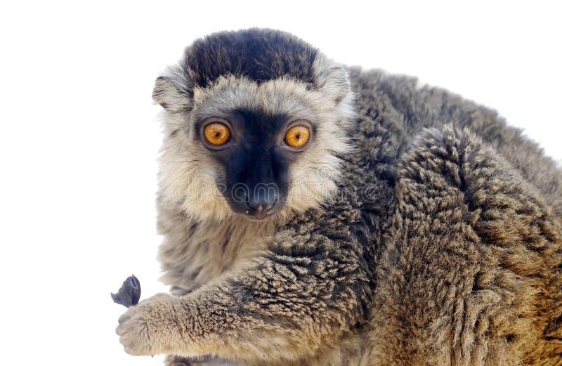 Macaco do Lemur imagens de stock royalty free