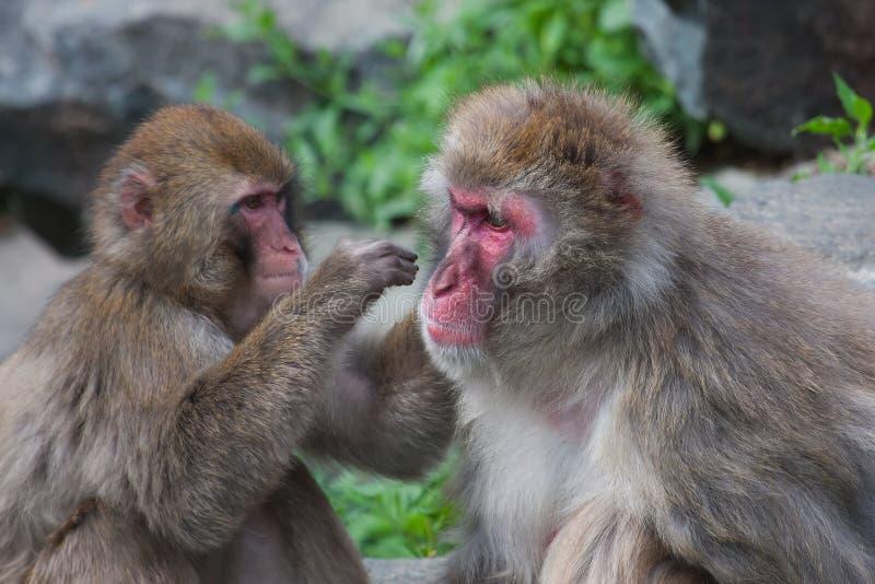 Macaco do Macaque (neve) imagem de stock royalty free