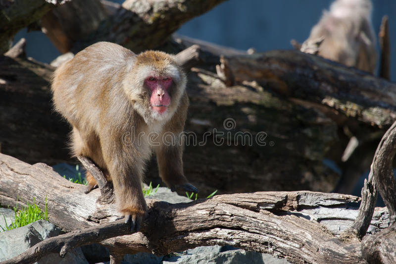Macaco do Macaque (neve) foto de stock