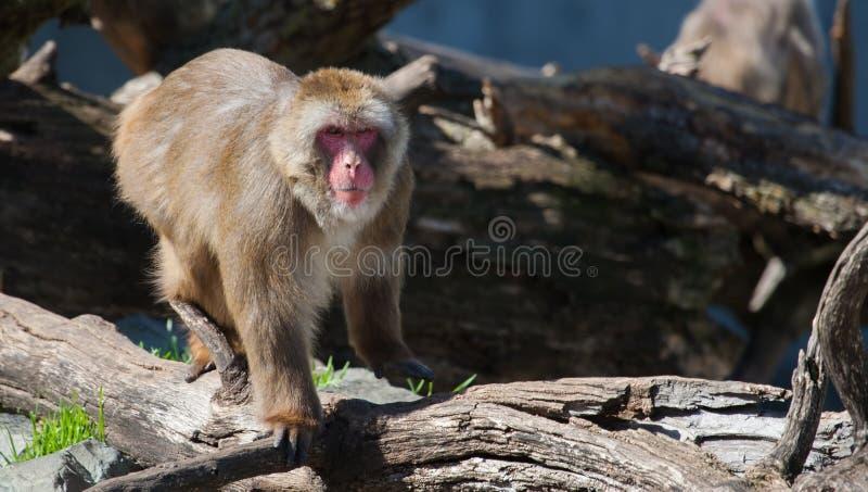 Macaco do Macaque (neve) imagens de stock royalty free