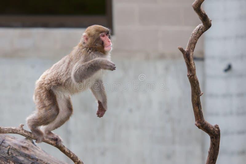Macaco do Macaque (neve) foto de stock royalty free