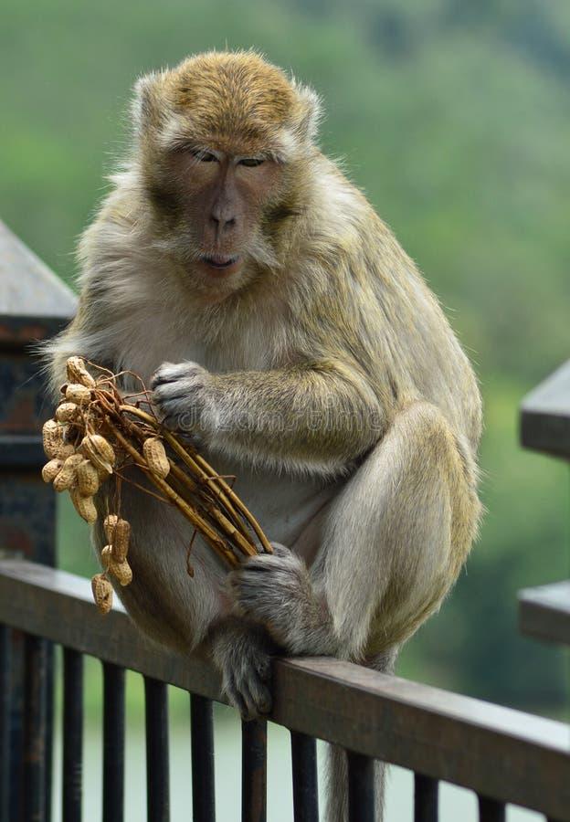 macaco do potrait imagens de stock