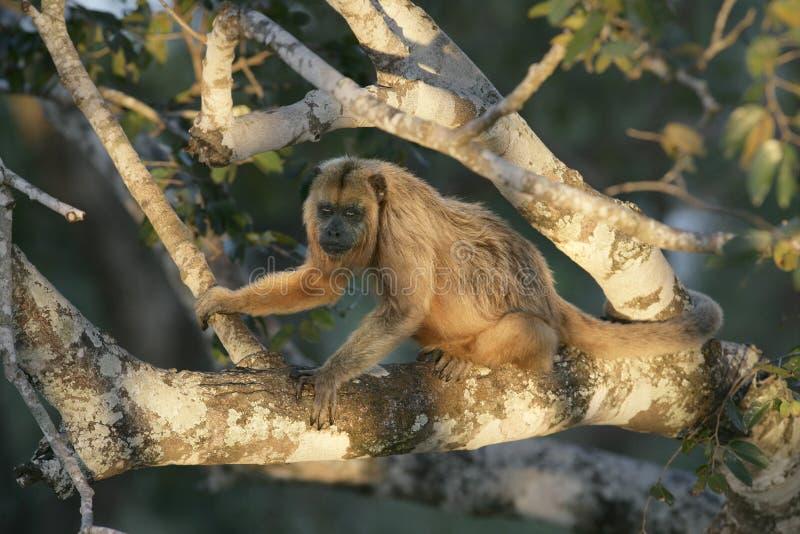 macaco do Preto-furo, caraya do Alouatta fotos de stock