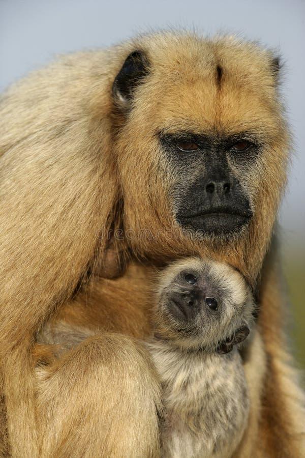 macaco do Preto-furo, caraya do Alouatta imagens de stock