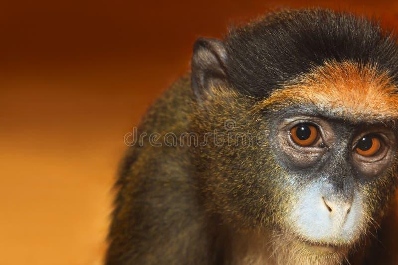 Macaco do retrato imagem de stock