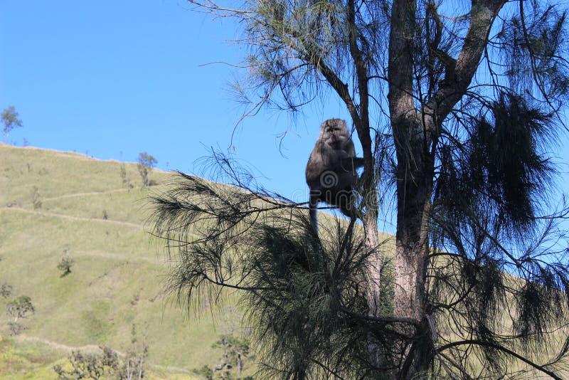 Macaco do rinjani da montanha fotos de stock royalty free