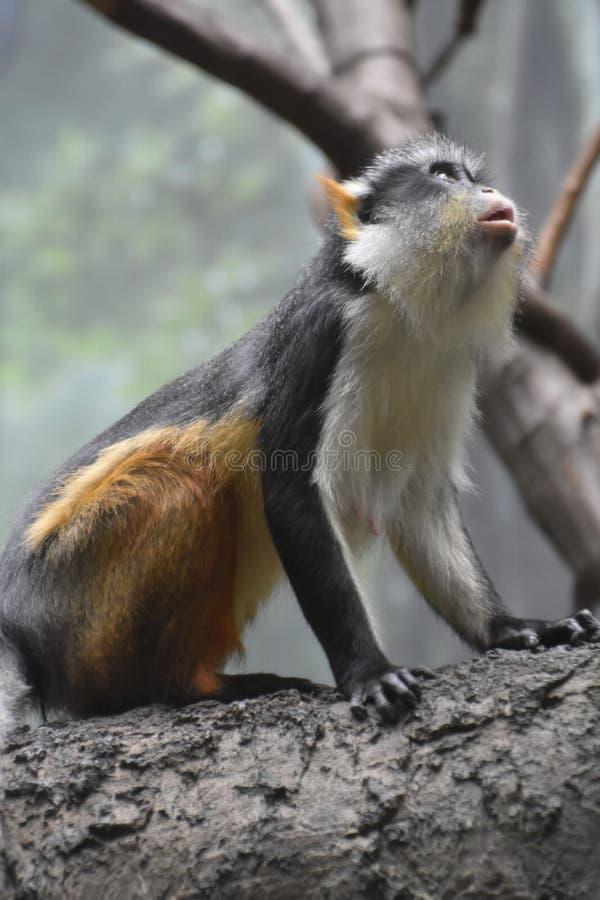 Macaco do ` s Guienon do lobo que olha acima em uma árvore foto de stock