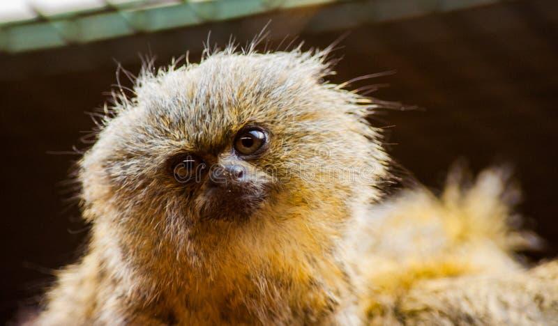 Macaco do sagui fotografia de stock