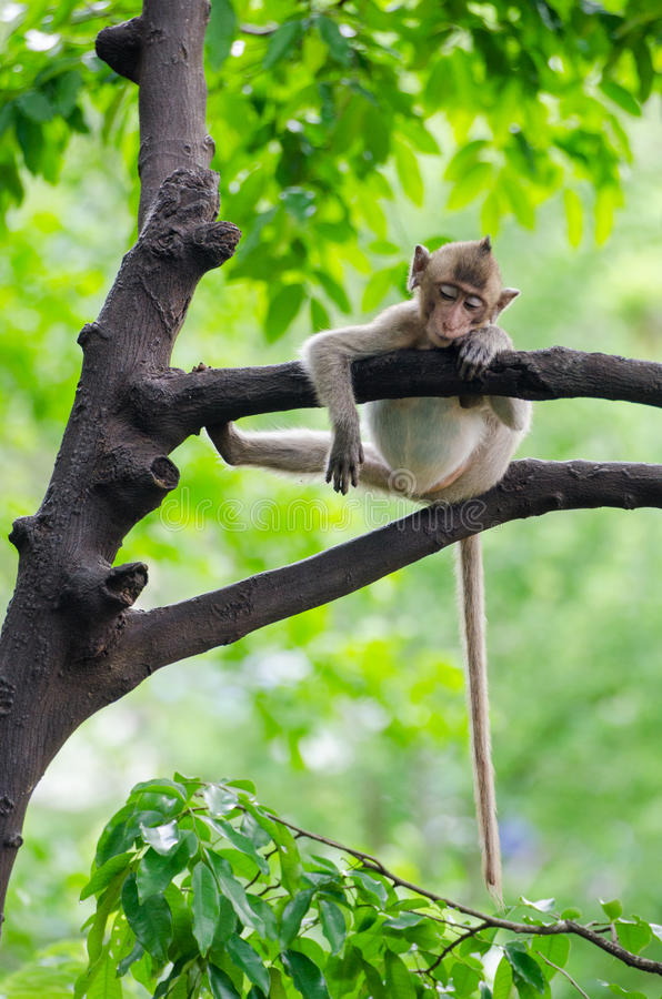 Macaco do sono fotos de stock