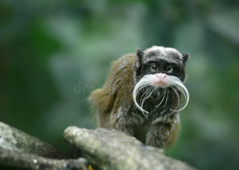 Macaco do tamarin do imperador fotos de stock royalty free