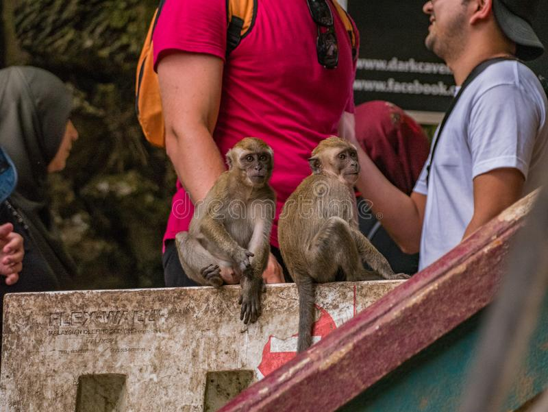Macaco dois bonito que olha a câmera em cavernas de Batu, Malásia imagens de stock royalty free