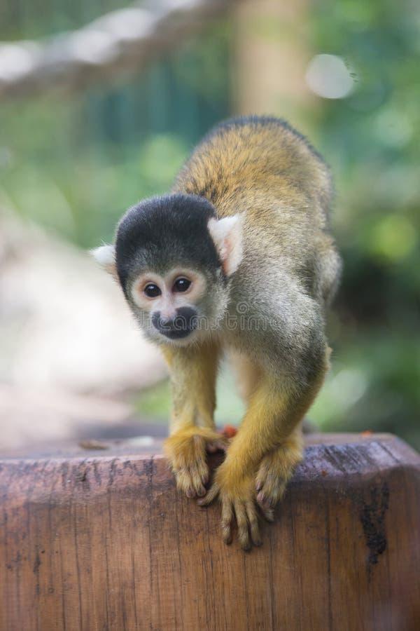 Macaco dourado fotos de stock royalty free
