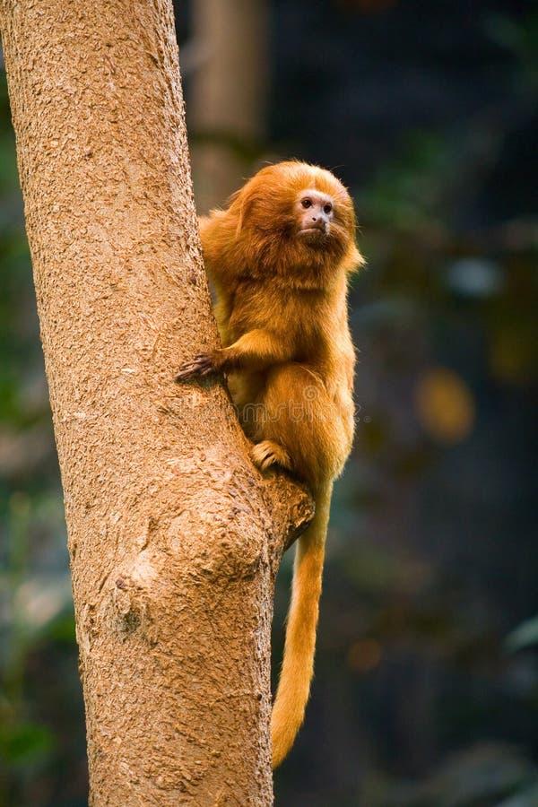 Macaco dourado do Tamarin do leão foto de stock