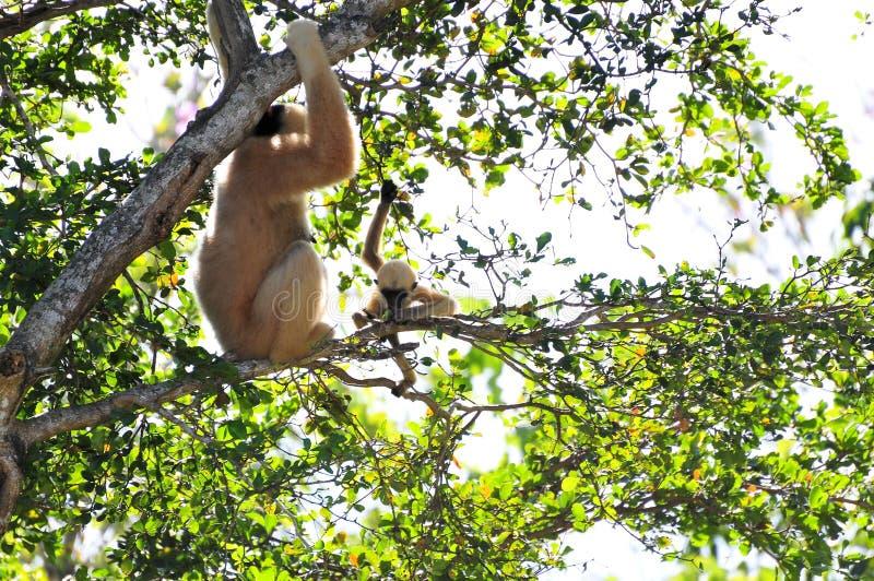 Macaco e mãe novos de Gibbon foto de stock royalty free