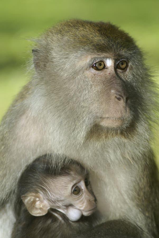 Macaco e matriz do bebê imagens de stock