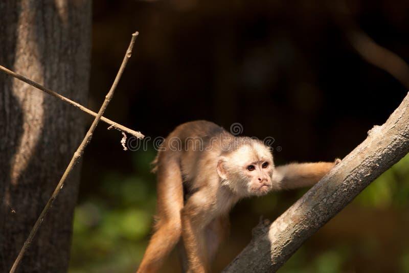Macaco em Amazon fotografia de stock royalty free