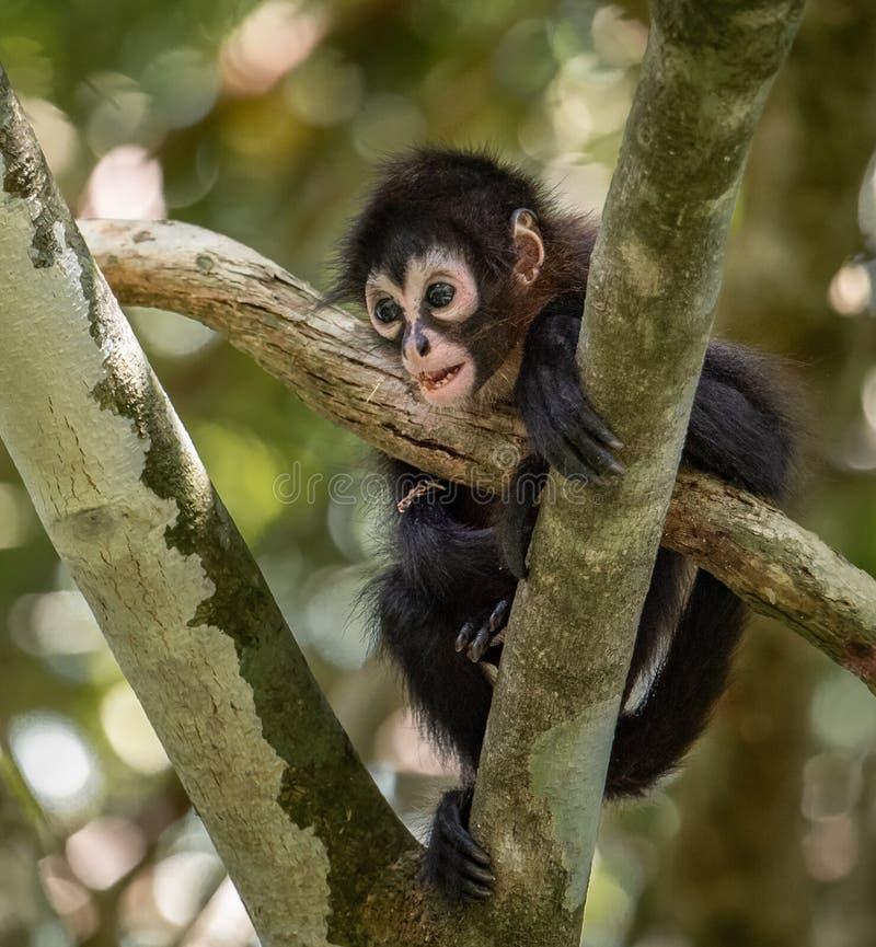 Macaco em Costa Rica fotografia de stock