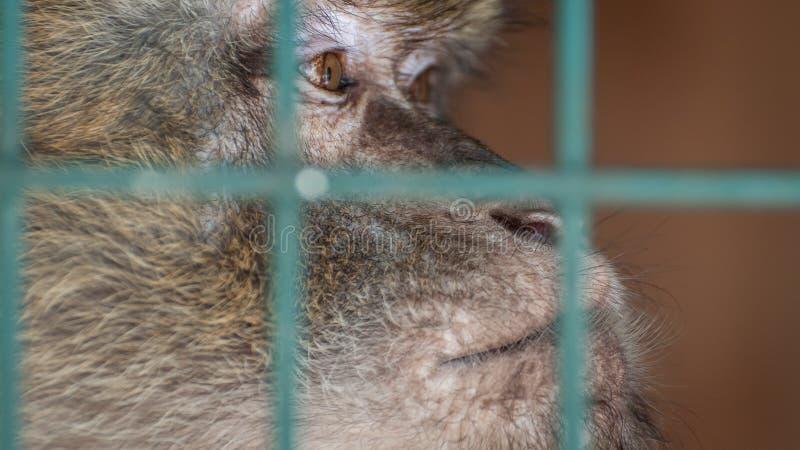 Macaco em uma gaiola atrás das barras Emoção da tristeza, desespero, depressão Um animal no captiveiro Olhar triste fotografia de stock