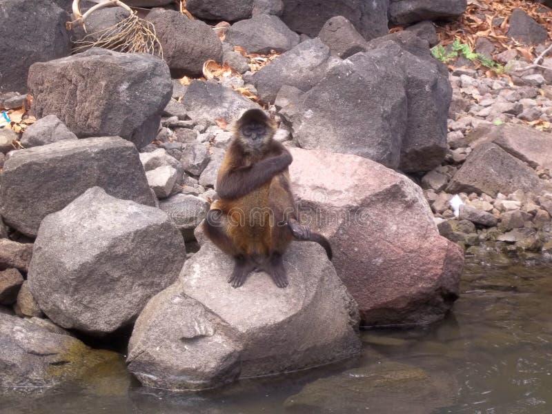 Macaco em uma rocha em Nicarágua fotos de stock