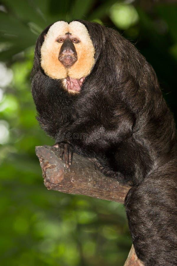 Macaco enfrentado branco de Saki imagem de stock royalty free