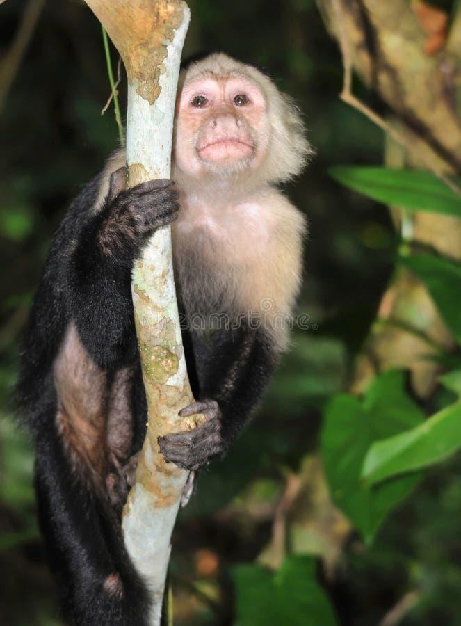 Macaco enfrentado branco do capuchin, cahuita, Costa-Rica fotos de stock