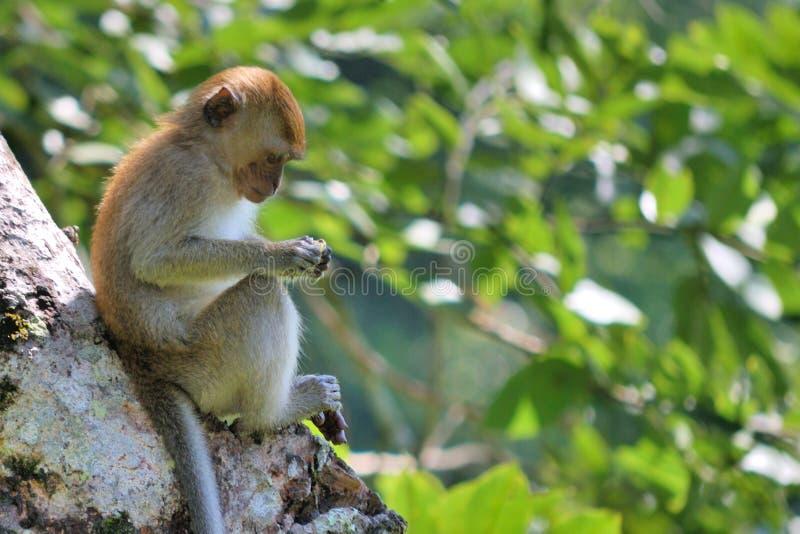 Macaco focalizado imagem de stock